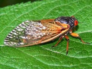 Cicadas all the buzz this summer 1