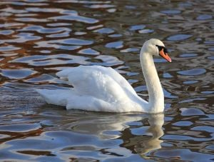 Cuomo vetoes Avella's 'save the swans' bill 1