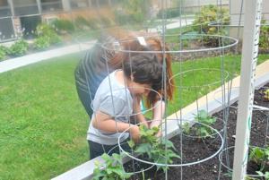 Tomatoes aplenty at St. Mary's garden 2