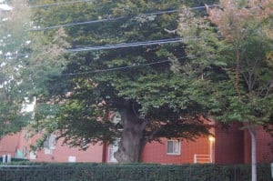Woodside Beech tree eyed for landmark status 1