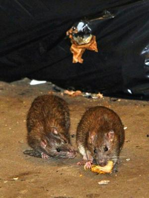 Oh rats! Rodents in Jamaica subway  1