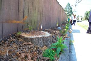 Arborcide in Bayside riles the community 1