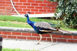 MIA: blue peacock in Kew Gardens Hills 1