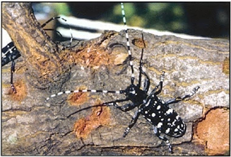 Asian longhorned beetle search leaves Woodhaven doorbells ringing 1
