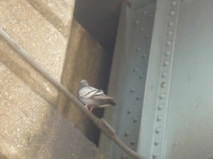 Pigeon poop pushes back casino opening 1