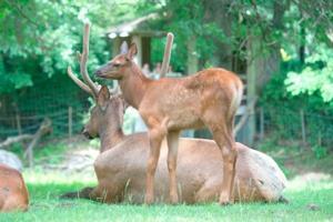 Elk calf born 1