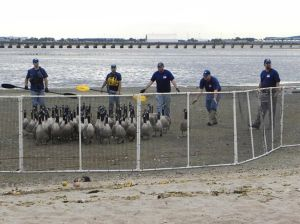 Jamaica Bay geese targeted by feds 1