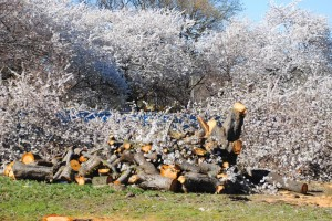 Boro Hall trees cut down in full bloom 1