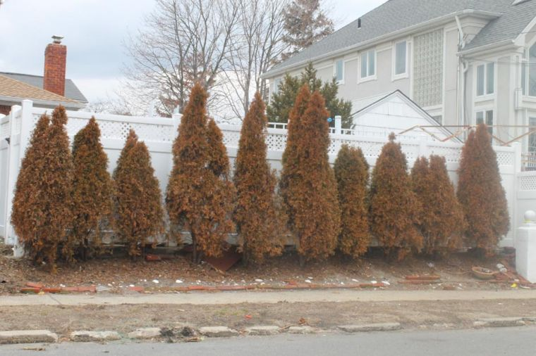 Hurricane Sandy may kill Howard Beach trees and shrubs 1