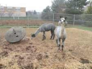 Alpacas, chickens and goats at Bowne