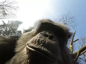 Raw: Camera-shy chimp with stick swats at drone