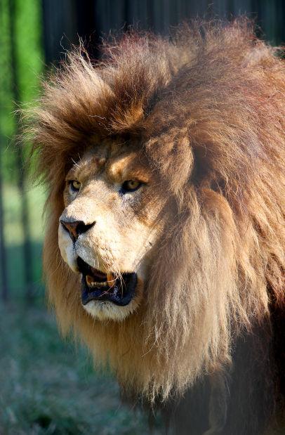 Niabi lion