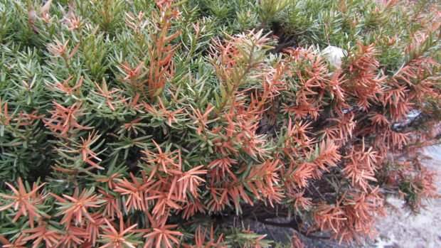 winter burn yew