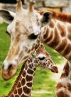 Parasite killed Niaibi giraffe