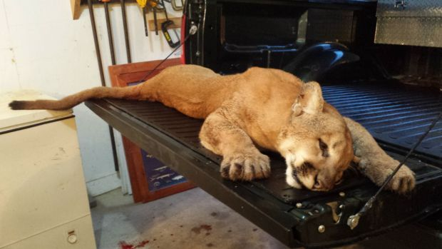 Cougar in Whiteside County