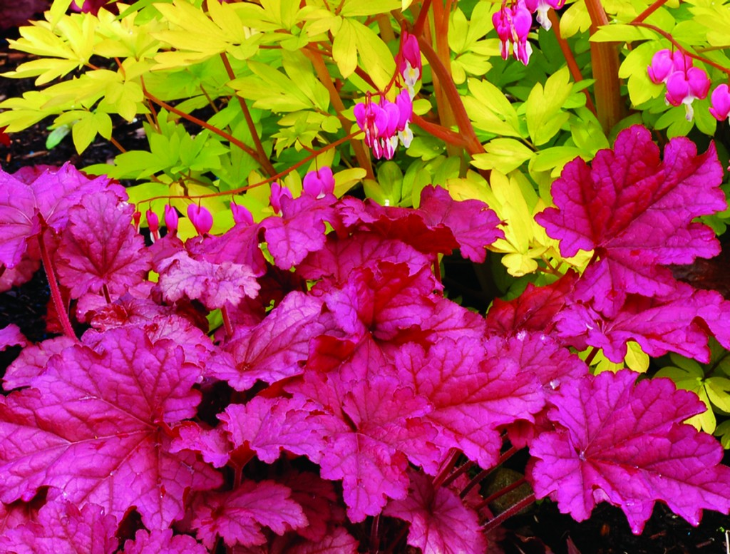 Heucheras, the new hosta : Home-