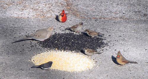 Unusual cardinal visits Rock Island yard