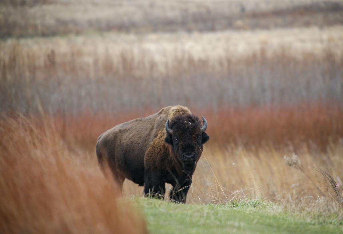 The return of the bison: 'Wild' herds again roam Illinois, Iowa prairies – QC Times