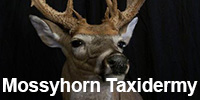 Mossyhorn Taxidermy