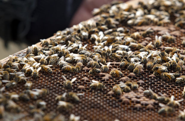 New law may soon set city abuzz with bees