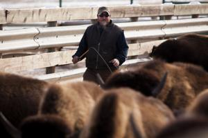 Buffalo auction at Custer State Park