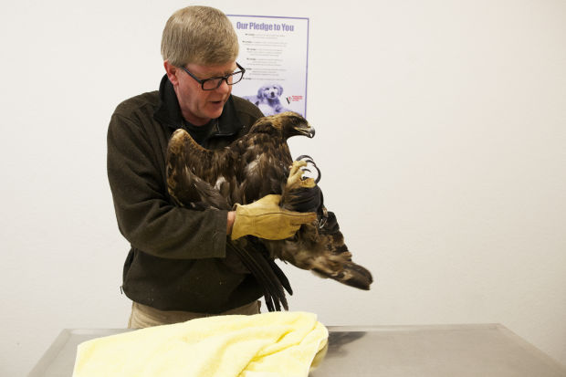 Golden eagle, struck by two vehicles, is en route to Pierre for medical evaluation