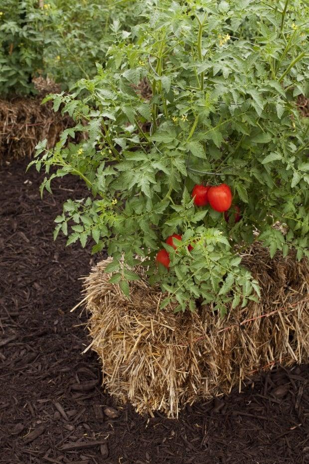 Bad soil no soil plant in straw bales instead for Straw bale gardening joel karsten