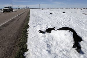 Tens of thousands of cattle killed in Friday's blizzard, ranchers say