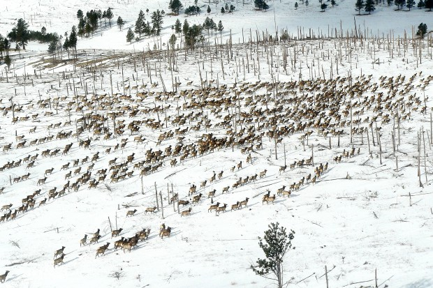 Getting an eyeful of elk during black hills aerial survey for Sd game fish parks