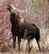 Montana, Wyoming investigate plummeting moose populations
