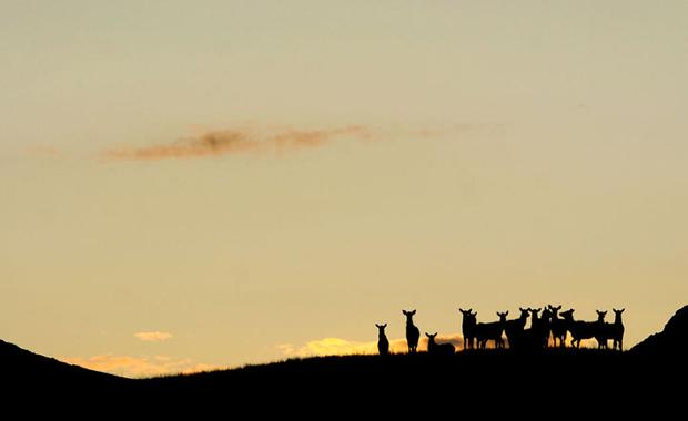 Expanded opportunity: FWP tests 'shoulder season' to improve elk harvest on private land