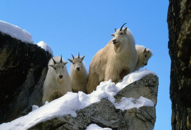 Life on the Rocks: Biologist/author to talk about mountain goats