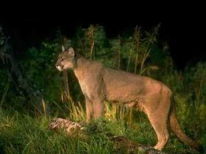 Mountain Lion Biology