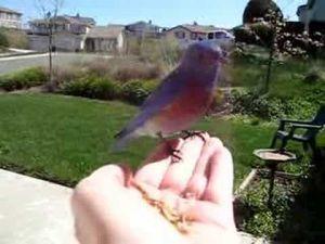Feeding Western Bluebird II