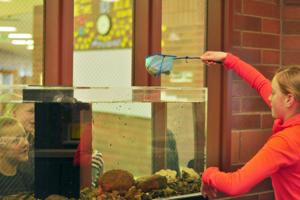 <p>Ainsley Boice drops her Rainbow trout, Chubs, into his new tank at North Fremont Middle School and High School's front office.</p>