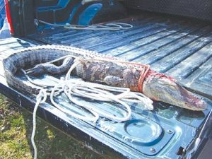 Five foot alligator discovered in watts bar lake then for Watts bar fishing report
