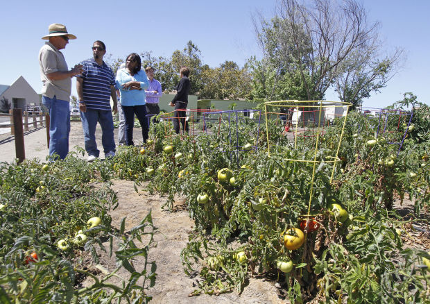 Community garden benefits gardeners VTC foodbank