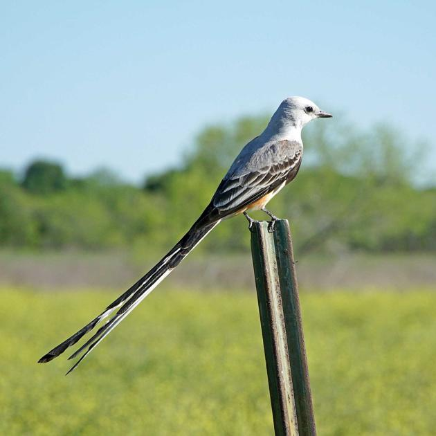 White Tailed Birds  Letters