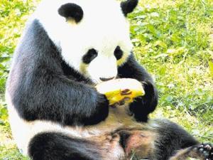 The mysterious pedigree of pandas