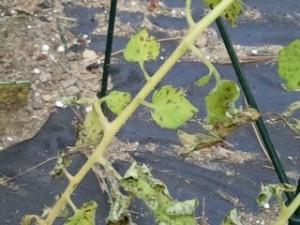 damaged plant