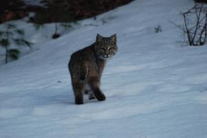 Bobcat hunt called off