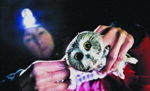 Antioch student's work focuses on elusive saw-whet owl