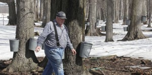 <p>Fred Bates checks the sap flow Monday as he checks on buckets in a section of maple trees on his farm. On Monday Bates and his crew were boiling sap  to make maple syrup.</p><p></p>