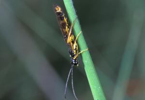 Wheat stem sawfly