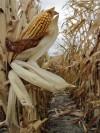 Ethanol Corn Shortage