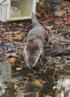Playful river otter is back, and scientists are tracking him