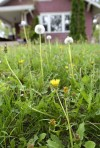 Unwanted growth: Dandelions flourishing in Siouxland yards