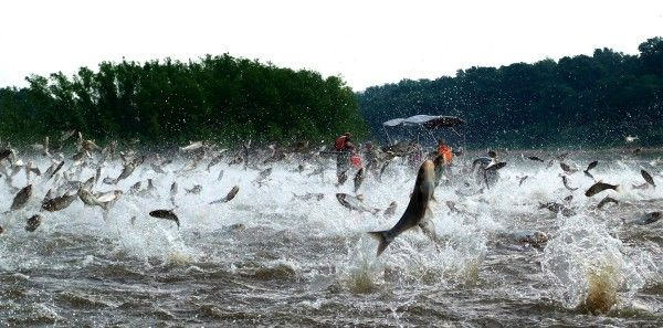 Flying fish a new threat to the iowa great lakes a1 for Fishing in iowa