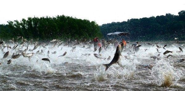Flying fish a new threat to the iowa great lakes a1 for Iowa fishing lakes