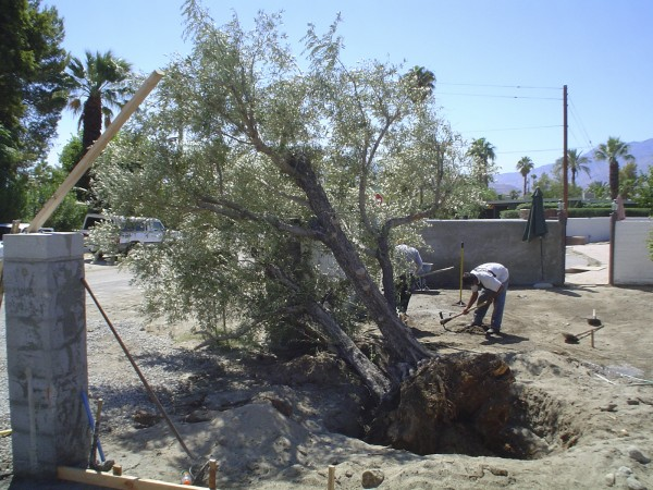 the ancient art of transplanting olive trees home and